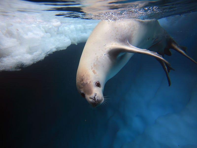This Antarctic Seal Has An Unusual Bite