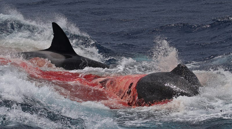 Unprecedented Images Show Orcas Hunting And Killing Rare Beaked
