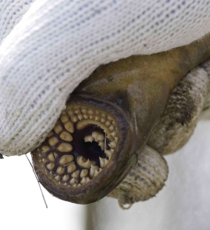 Watch an entire tub full of lampreys going crazy