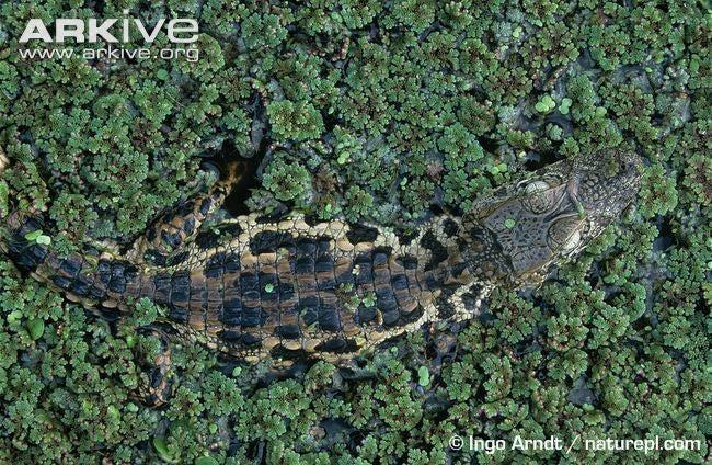 Sunday Crocodilian - Caiman latirostris Edition