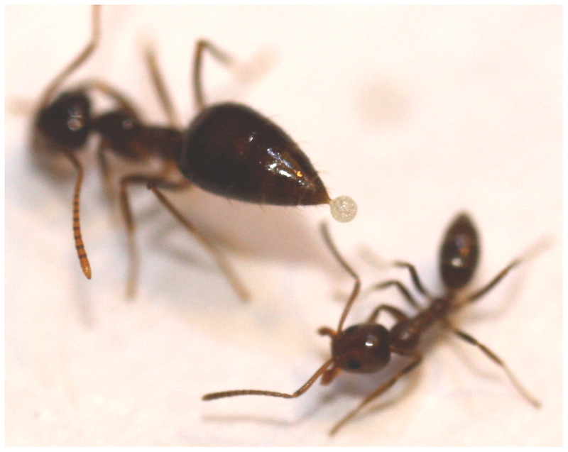 How a small group of California ants are challenging the global Argentine ant empire