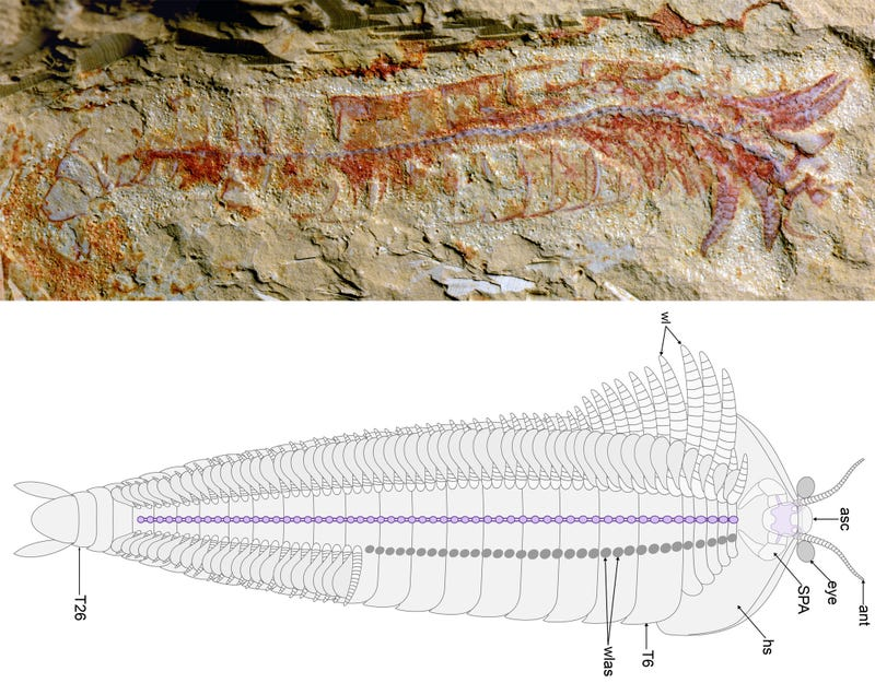 This 520 Million-Year-Old Fossil Is So Intricate You Can See Individual Nerves