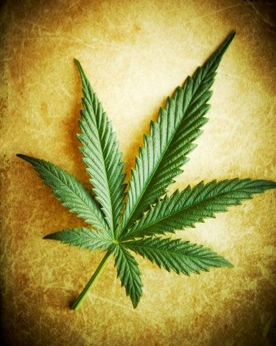 Californians Gear Up For Historic Recreational Marijuana Vote