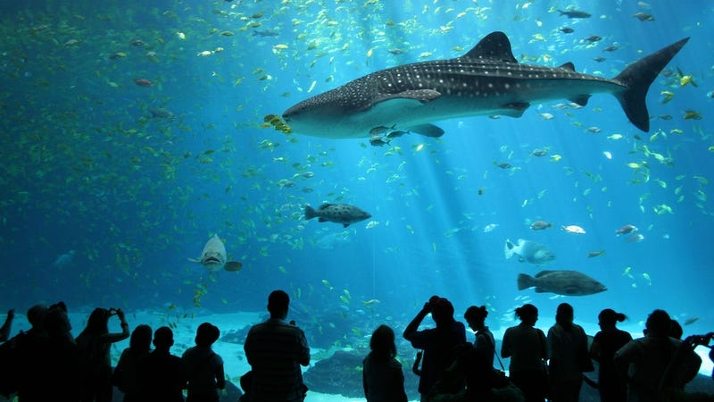 Fill in the blank: A gaggle of geese, a pride of lions, a ________ of whale sharks