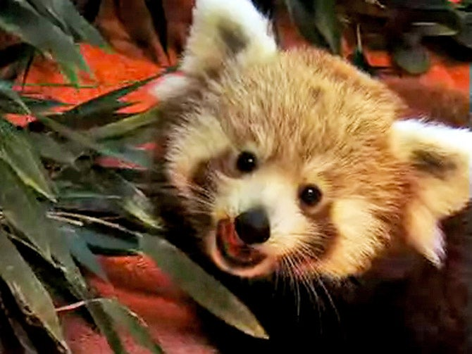 Firefox Debuts Baby Firefox Webcam