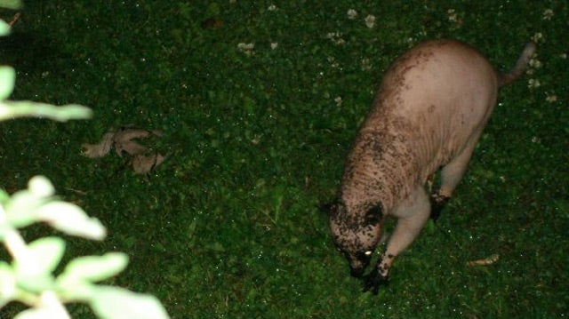 Living Montauk Monster Terrorizing Canada