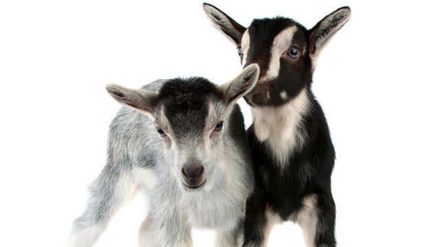 Noble Goat Has Somber Sendoff
