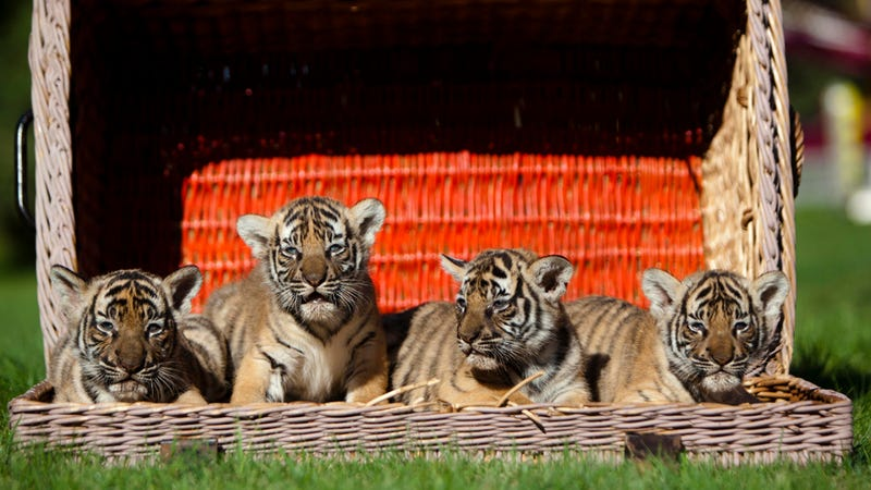 What's Cuter Than A Tiger Cub? Tiger Quadruplets