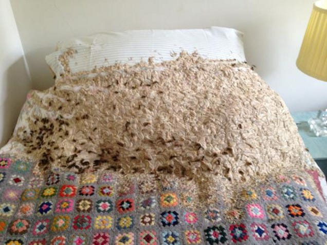 Thousands Of Wasps Take Over The Spare Bedroom In UK Home