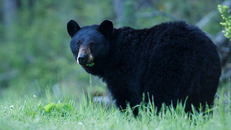 Drunk Alaska Man Mauled After Feeding BBQ to Black Bear