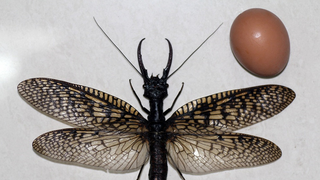 World's Largest Aquatic Insect Found In China