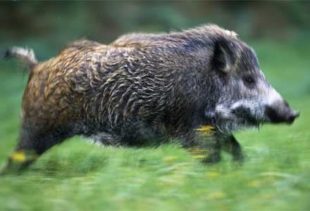 Rising numbers of radioactive wild boars plague German forests