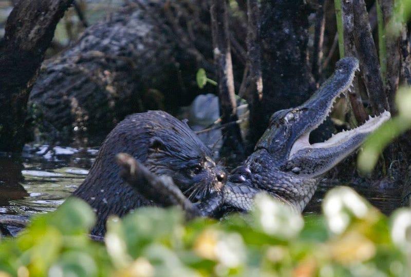 It's A Bad Week To Be a Crocodilian