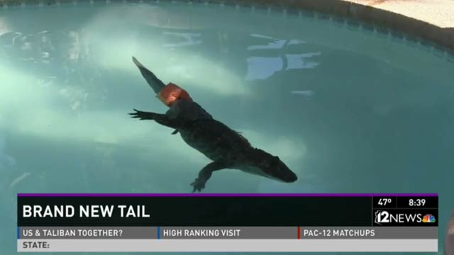 Arizona Town Replaces an Alligator's Tail with a Prosthesis and Orange Floaty Water Wing