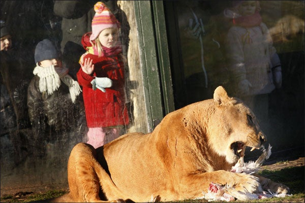Dutch Girl Watches A Lion In Winter