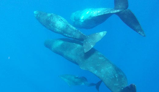 Sperm Whales Adopt A Dolphin With Spine Deformity