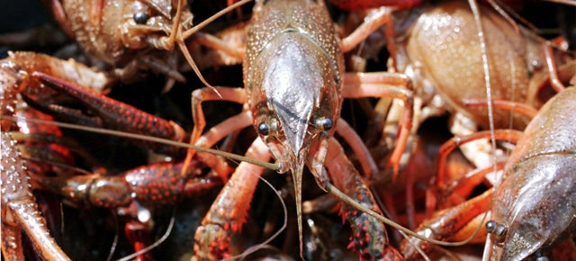 Crayfish Can Turn Ordinary Blood Cells Into Neurons