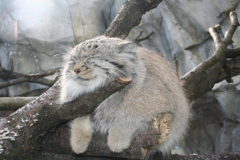 Caturday - Octolobus manul Edition