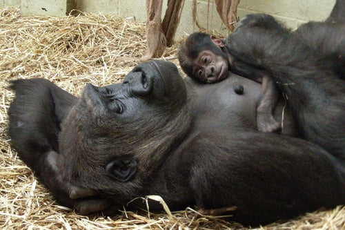 Newborn Gorilla? Yes Please.
