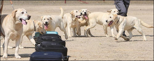 Six Cloned Labradors Enter the Korean Customs Service