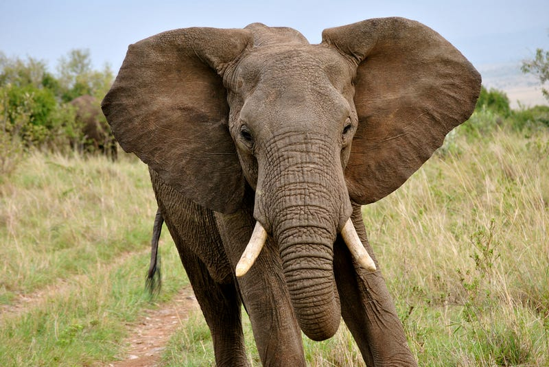 Could imported elephants trample Australia's environmental woes?