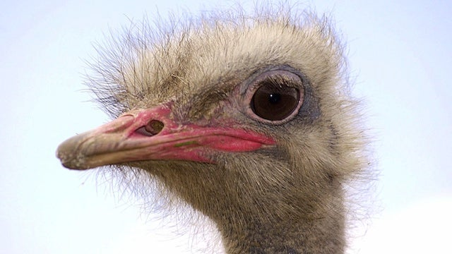 Volunteers Step In To Save Gaddafi's Ostriches