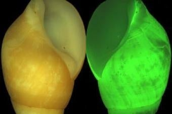 Strange bioluminescent snail can turn into eerie shade of green