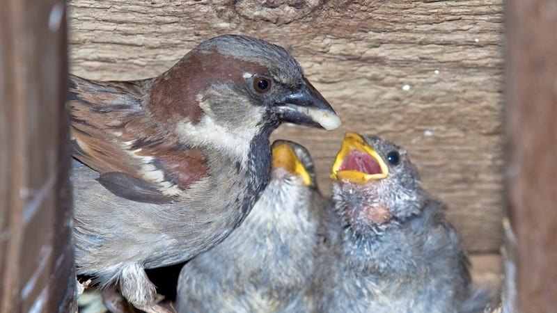 Urban Noises May Be Turning House Sparrows Into Neglectful Mothers