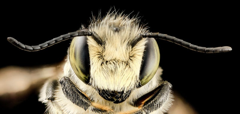 Do Bees Have Hair?