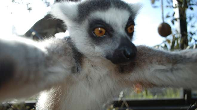 Lemur Takes An Awesome Selfie