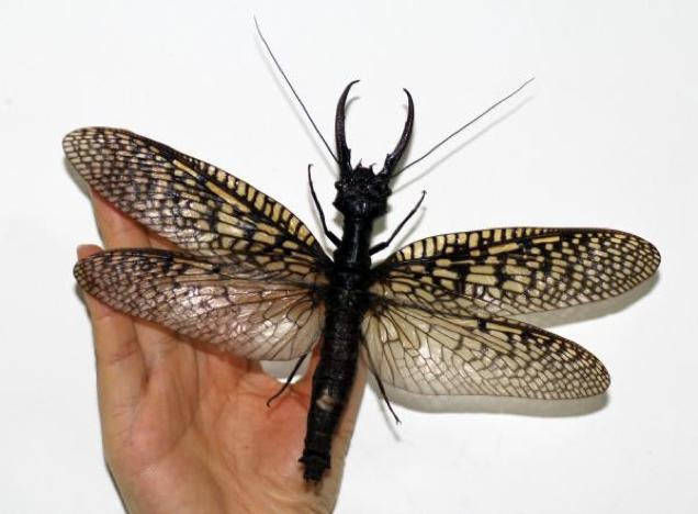 Terrifyingly Large Insect Found in China