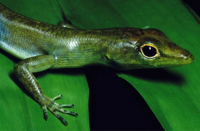 This bizarre lizard bleeds green poison that can kill you