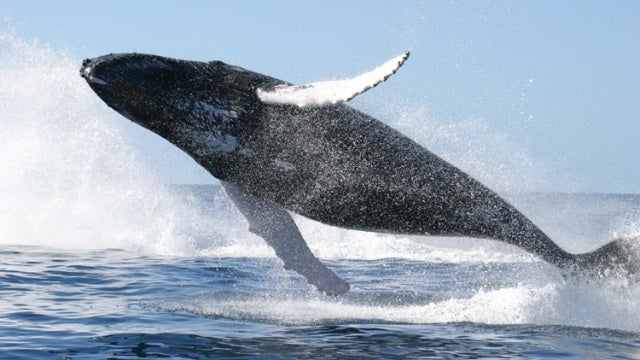 Popular whale songs reveal the first ever non-human cultural exchange