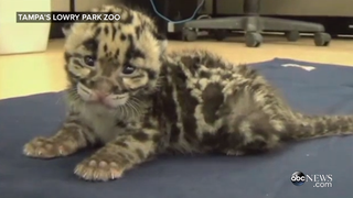TGIF: Meet Your New Squeaky Baby Leopard Friend