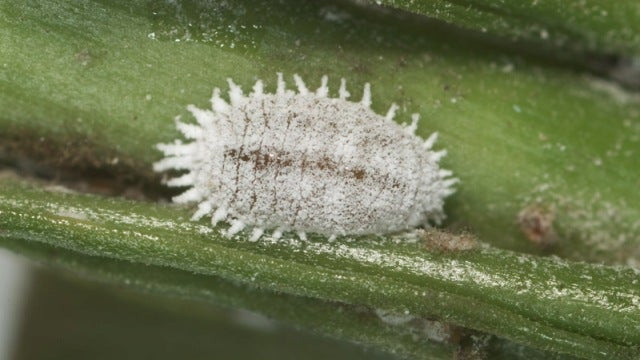 The Ultimate Symbiosis: Mealybugs have bacteria living inside their bacteria