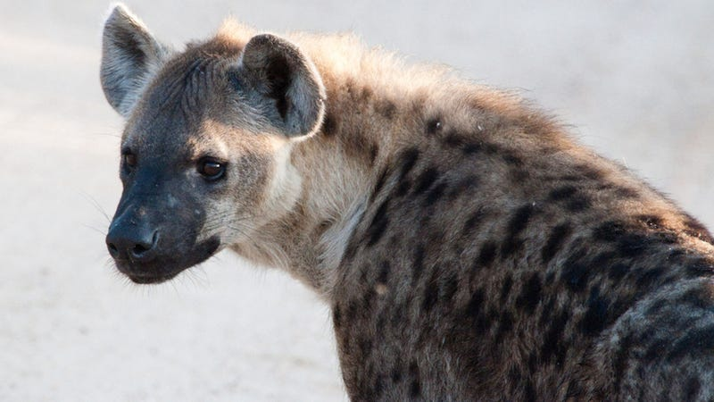 Hyenas may be using bacteria to communicate