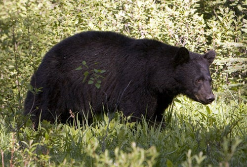 Montana Wildlife Officials Euthanize Black Bear for Acting Like a Bear