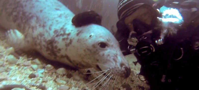 A happy wild seal gets a belly rub, poses with diver for selfie