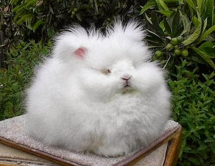 Precise measurements reveal that this is the world's fluffiest bunny