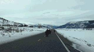 Buffalo In Yellowstone Will Keep Their Territory By Smashing Your Car