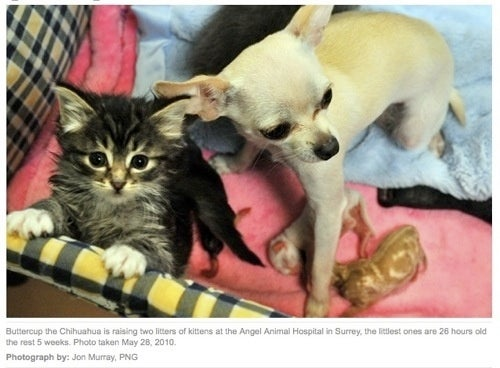 Grieving Chihuahua Adopts Nine Kittens