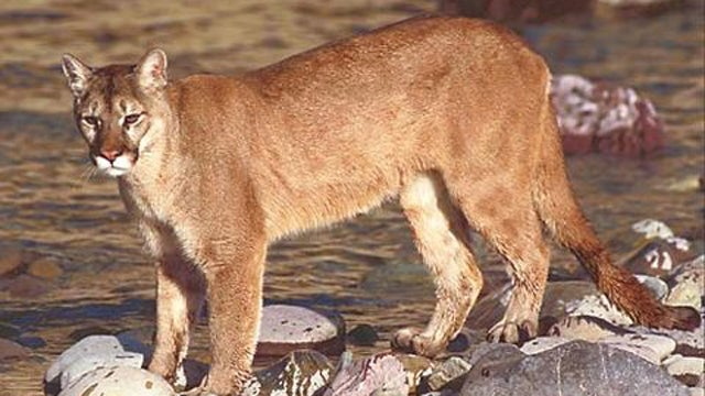 Mountain lion killed by Hyundai in Connecticut
