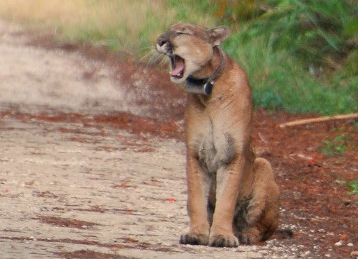Florida panther population triples in size with help from Texas ladies