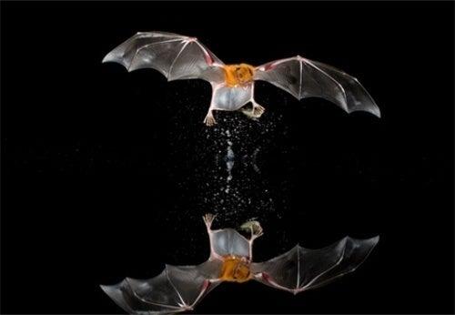 Bat echolocation could be a form of communication