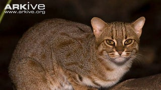 Caturday - Prionailurus rubiginosus Edition