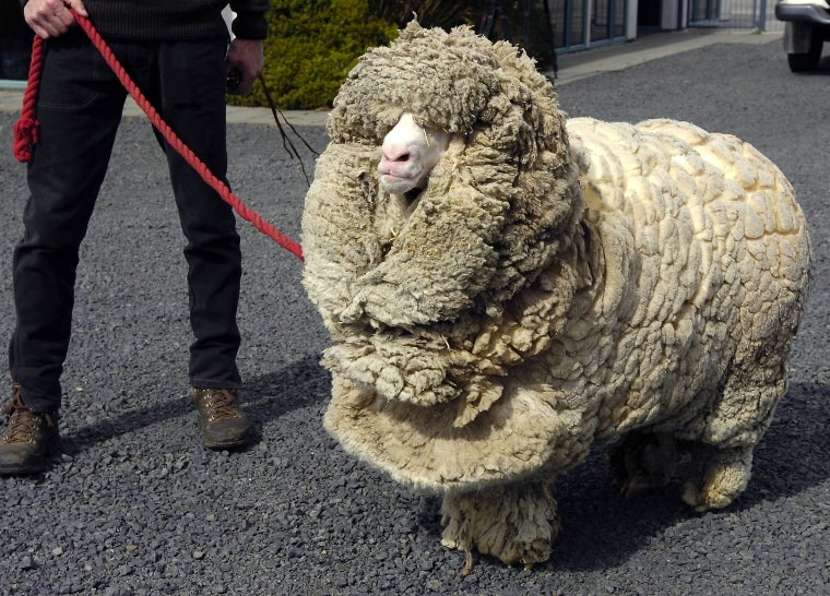 This Guy Died This Year: Shrek, The Unshearable Sheep