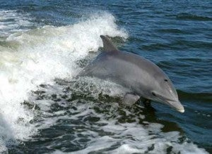 Why are dolphins smarter than most other mammals?