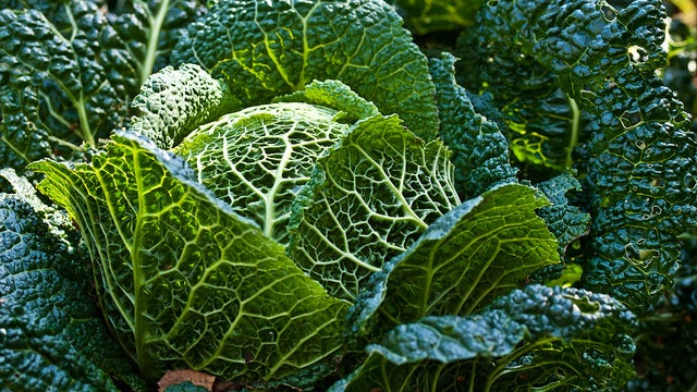 COTD: Cabbage Edition