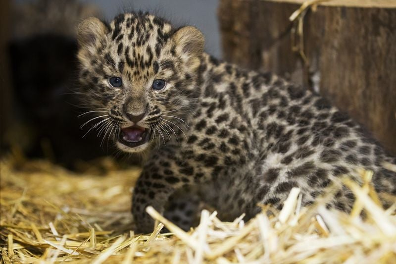 ZOMG BABY AMUR LEOPARDS!!!