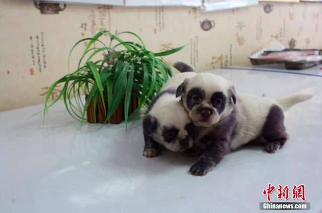 """Panda Dogs"" Born in China"